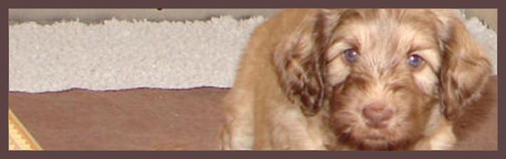 labradoodle_puppy
