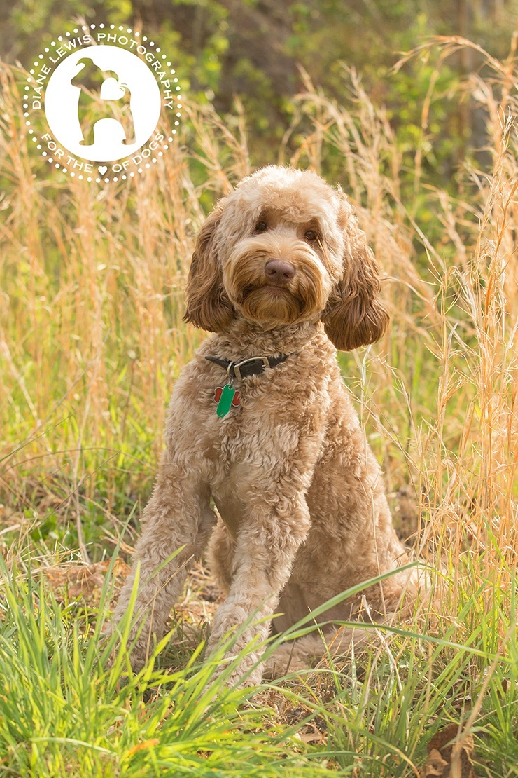 Maccabee Red Rock Labradoodles